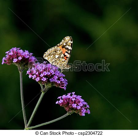 Stock Photo of Painted Lady butterfly on Verbena Bonariensis.