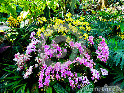 Phalaenopsis In Greenhouse Royalty Free Stock Photos.