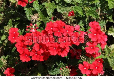 Red Verbena Stock Images, Royalty.