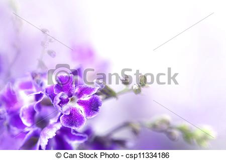 Pictures of Violet color flowers of Duranta erecta L. Verbenaceae.