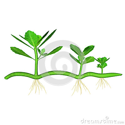 Verbenaceae Stock Illustrations.