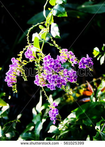 Verbenaceae Stock Photos, Royalty.