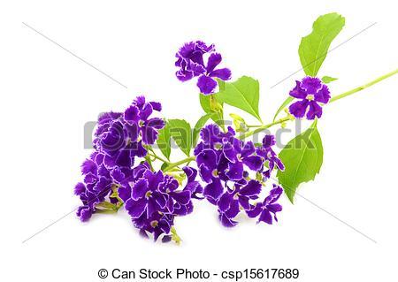 Pictures of Violet flower of Duranta erecta L. Verbenaceae.