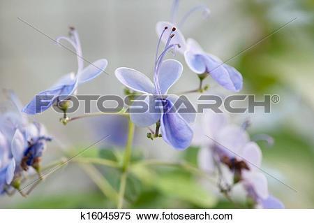 Stock Image of Verbenaceae Clerodedron ugadanse k16045975.