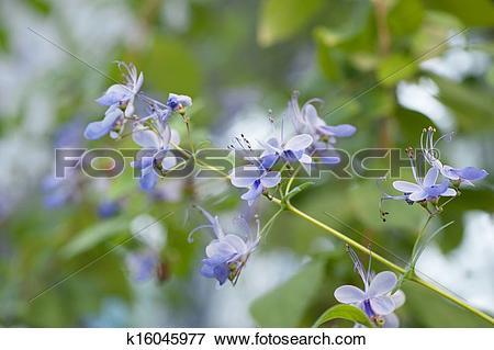 Picture of Verbenaceae Clerodedron ugadanse k16045977.