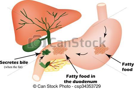 Vektor Illustration von Galle, Verdauung, fettig, Organe, apparat.