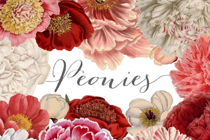 Vintage Peonies Clipart By Verdigris Studios.