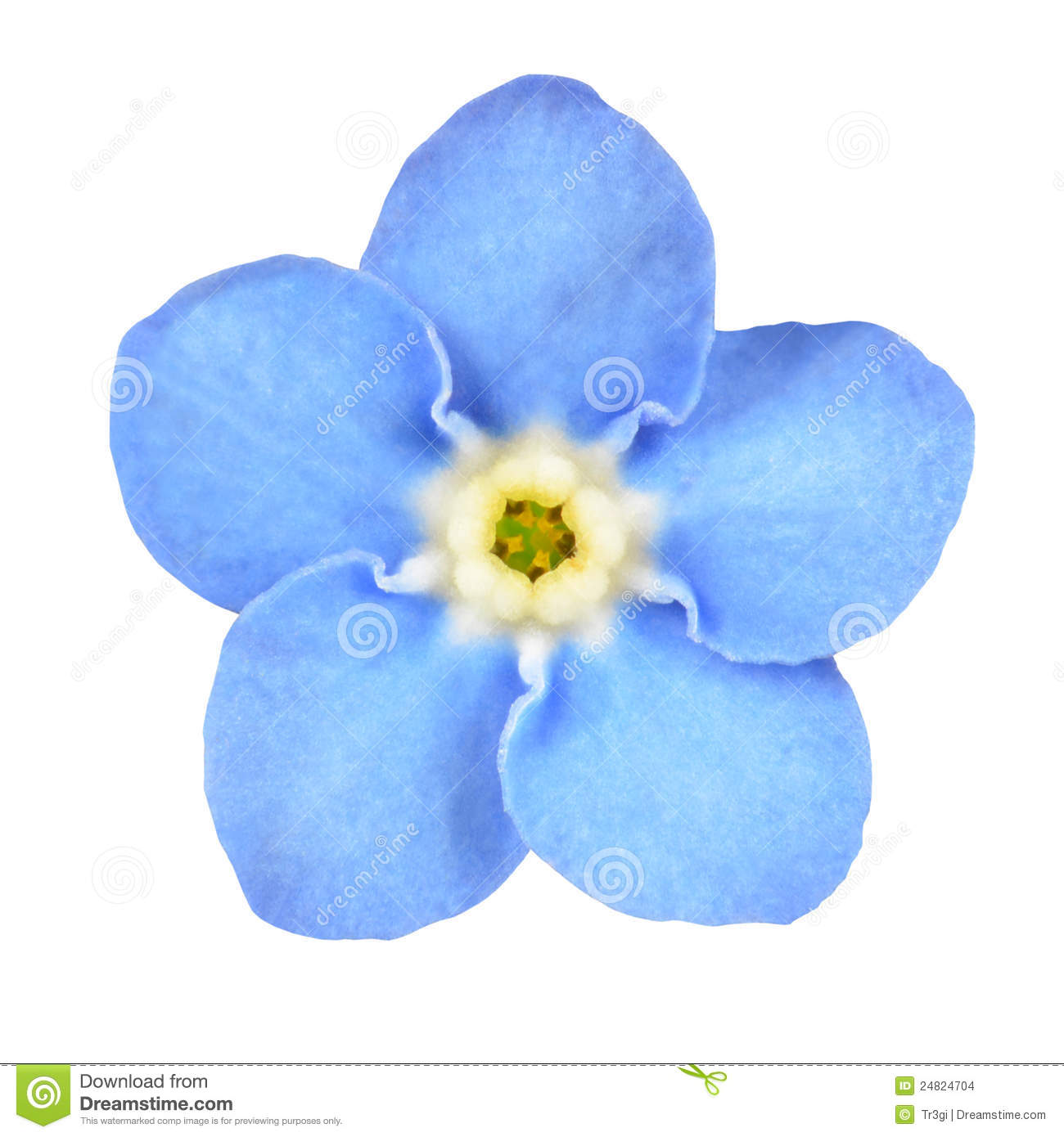 Myosotis Forget Me Not Stock Photos, Images, & Pictures.
