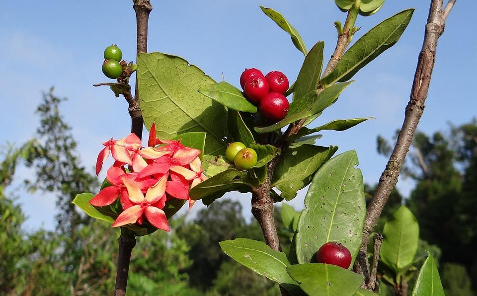 Free photo: Ixora Coccinea, Wild Ixora, Flower.