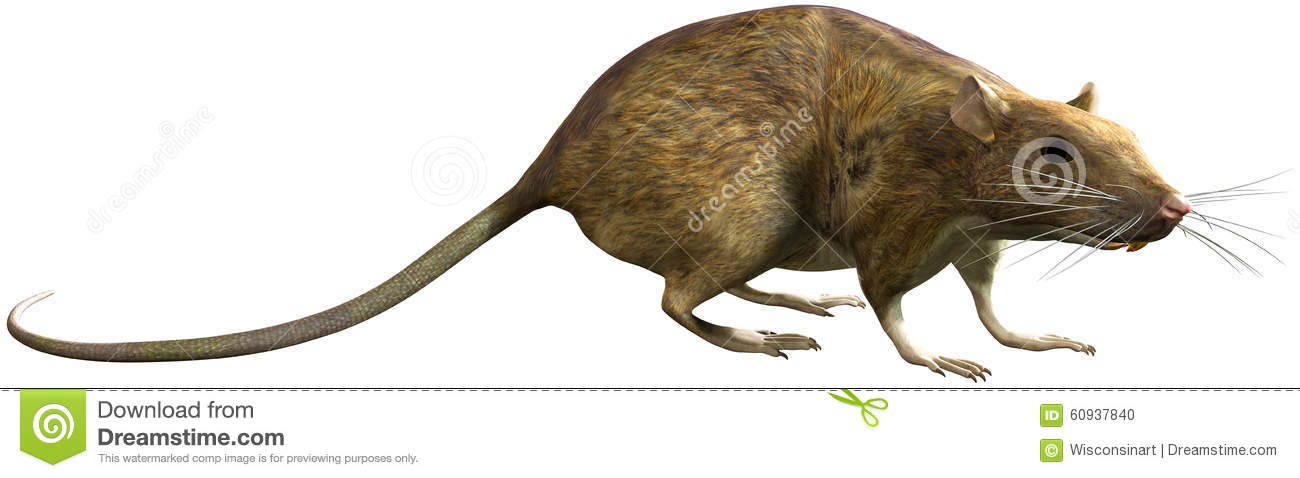 Rat Pest Rodent Isolated Illustration Stock Photo.