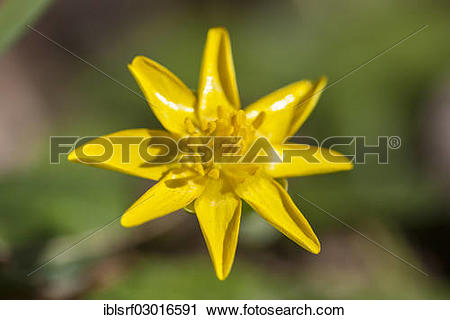 "Stock Photography of ""Lesser Celandine (Ficaria verna), Kassel."
