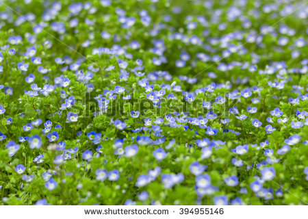 "germander_speedwell"" Stock Photos, Royalty."