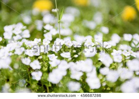 Veronica Blue Field Flower Lizenzfreie Bilder und Vektorgrafiken.