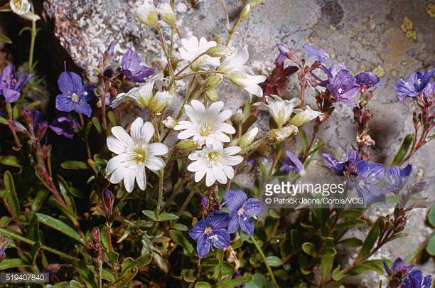 Veronica Fruticans Stock Photos and Pictures.
