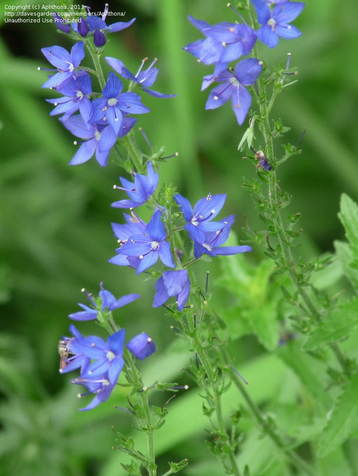 1000+ ideas about Veronica Flower Pictures on Pinterest.