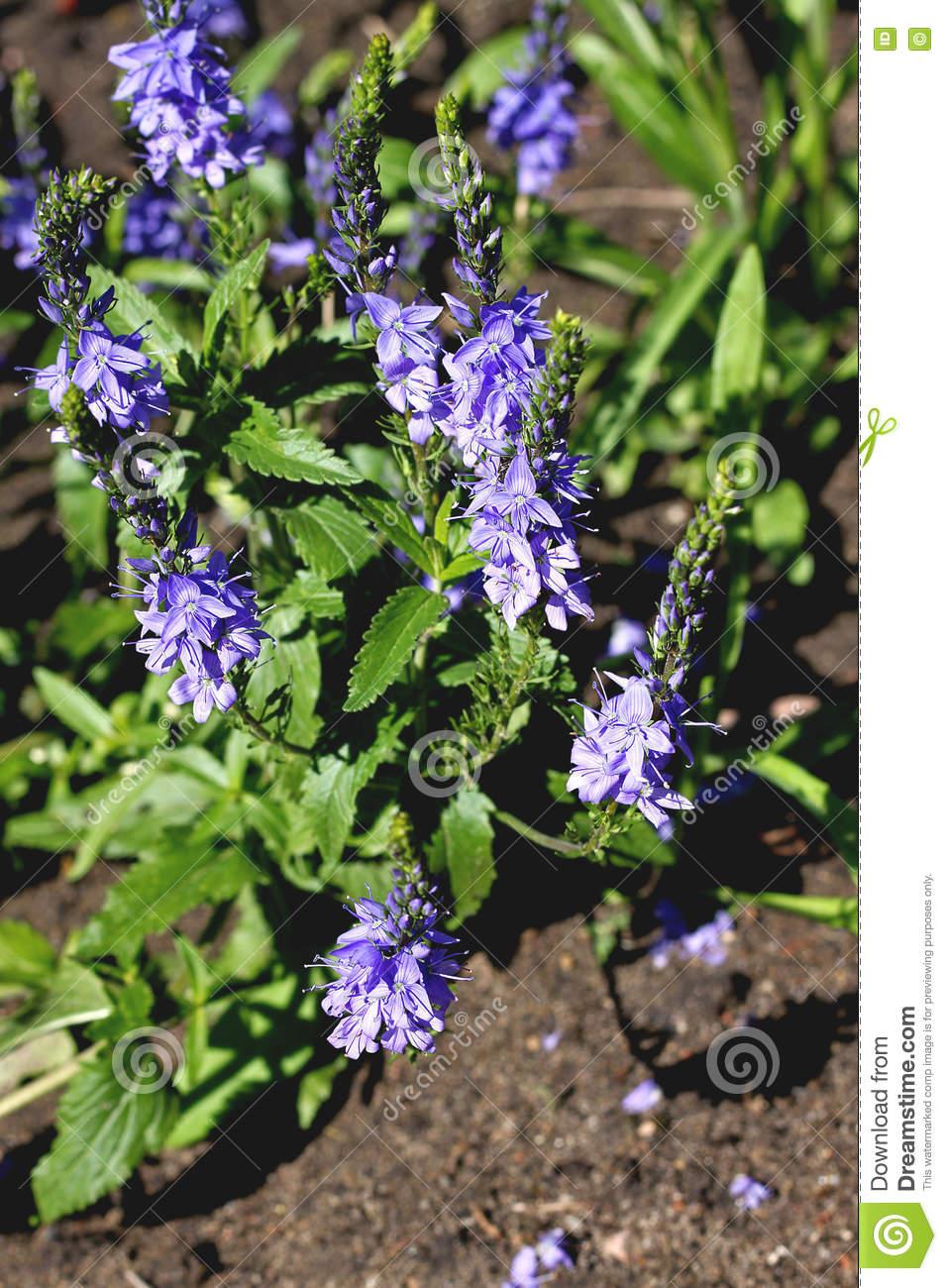 Veronica Latifolia (Veronica Teucrium) Stock Photo.