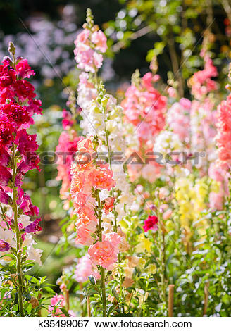 Picture of Snap dragon flower blooming in garden k35499067.