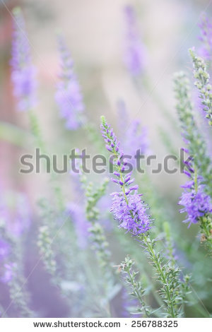 Veronica Spicata Stock Photos, Royalty.