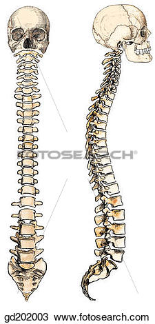 Drawing of Vertebral column in anterior and lateral view. gd202003.