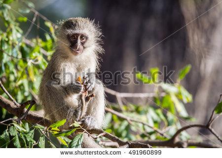Vervet Monkey Stock Photos, Royalty.