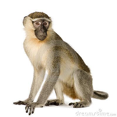 Vervet Monkey Stock Photo.