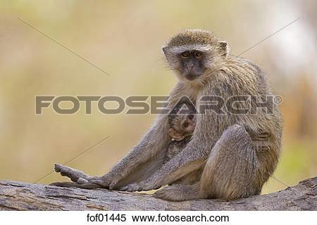 Stock Image of Africa, Botswana, Vervet monkey Chlorocebus) with.