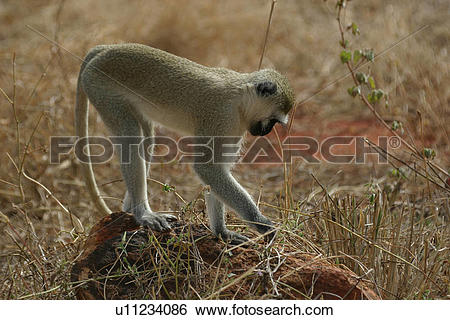 Stock Images of Vervet monkey searching for food u11234086.
