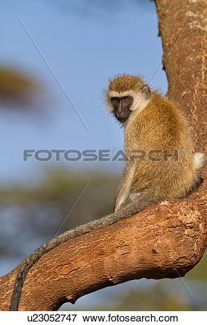 Picture of Close up of vervet monkey sitting on branch of tree.
