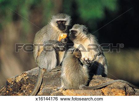 Stock Images of Vervet Monkeys, Transvaal, South Africa x16144176.