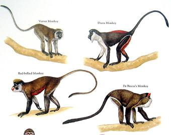 Diana monkey.
