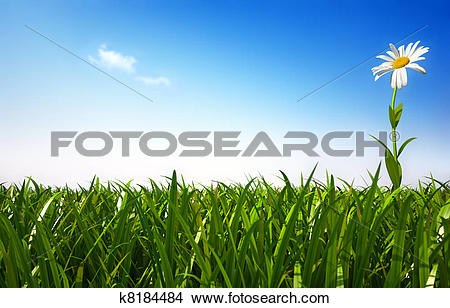 Stock Photo of Isolated daisy flower in a very green grass meadow.