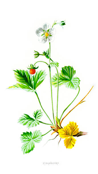 Woodland Strawberry Fragaria Vesca Clip Art, Vector Images.