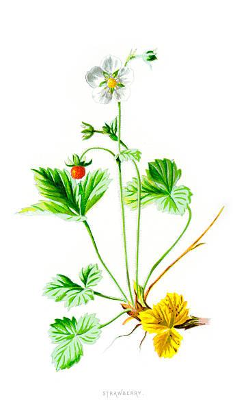 Woodland Strawberry Fragaria Vesca Clip Art, Vector Images.