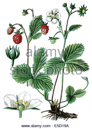 Illustration Of A Strawberry Plant ( Fragaria Vesca ) With Roots.