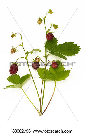 Stock Images of DEU, 2009: Wild Strawberry, Alpine Strawberry.