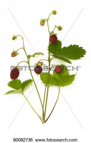 Stock Images of DEU, 2009: Wild Strawberry, Alpine Strawberry.
