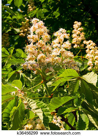Stock Photograph of Chestnut (Castanea vesca) flower k36456299.
