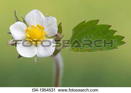 Stock Photography of Wild Strawberry, Fragaria vesca, Schleswig.