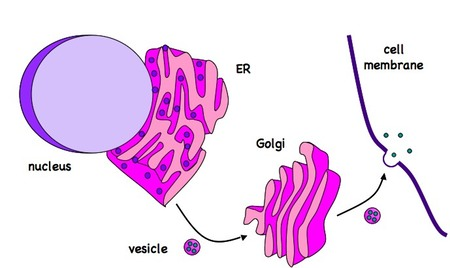Nerve Cell Diagram Labeled.