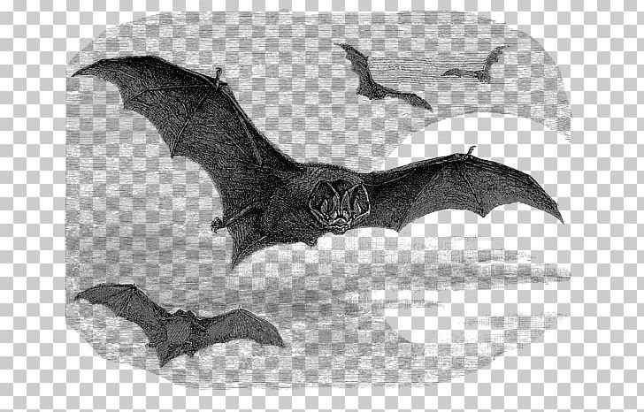 Barbastelle Drawing Illustration Vesper Bat Graphics PNG.