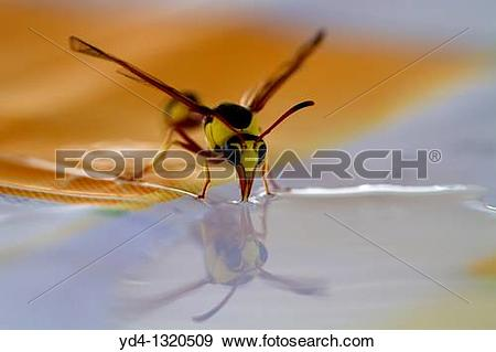 Stock Photograph of Social Wasps Family vespidae, drinking water.