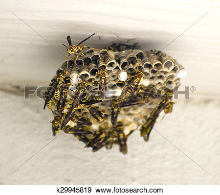 Stock Photograph of Yellow Jackets Building a Nest Hymenoptera.