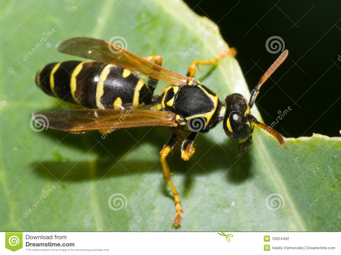 Vespidae, Wasp Stock Photography.