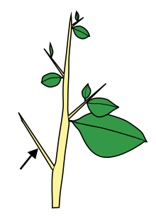 Petiole (insect).