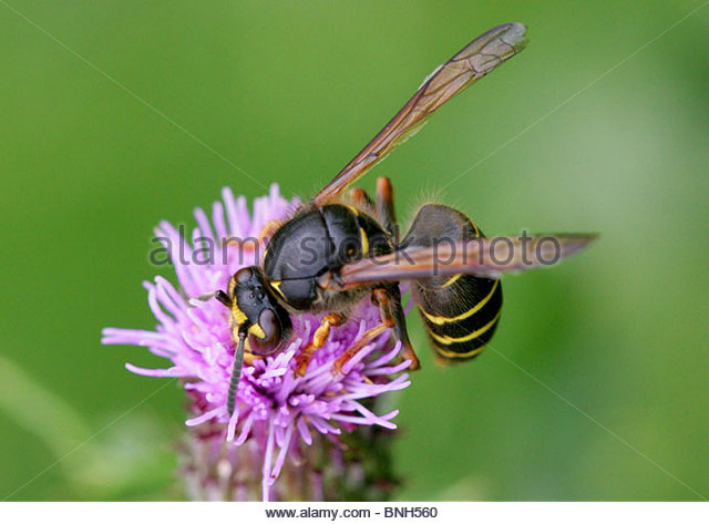 Wasp Yellow Stripes Stock Photos & Wasp Yellow Stripes Stock.