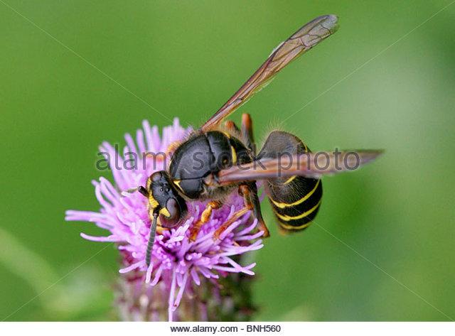 Wasp Yellow Stripes Stock Photos & Wasp Yellow Stripes Stock.