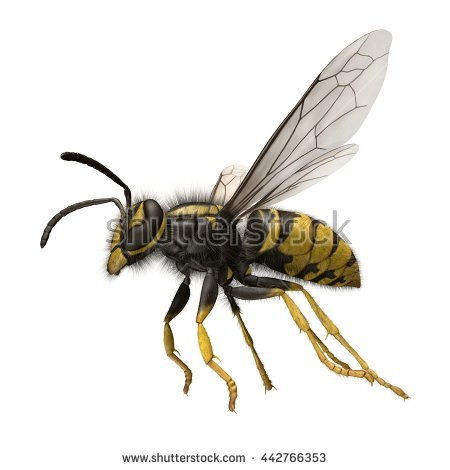 Vespula Stock Photos, Royalty.