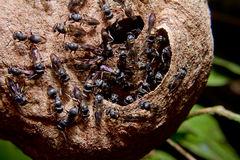 Wasp (Vespinae) Royalty Free Stock Photo.