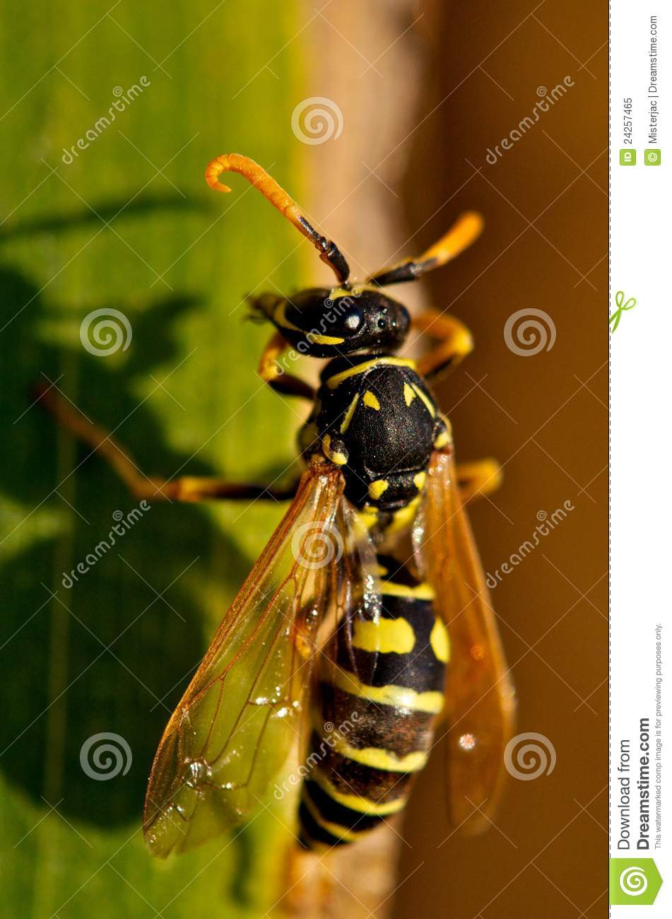 Wasp (Vespinae) Royalty Free Stock Photo.