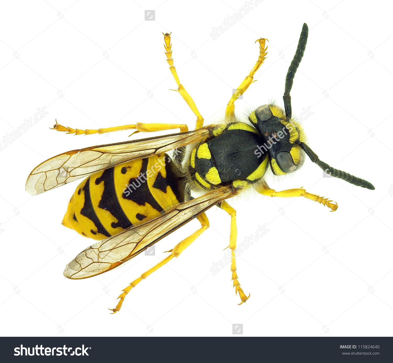 European Wasp Vespula Germanica Invasive Species Stock Photo.
